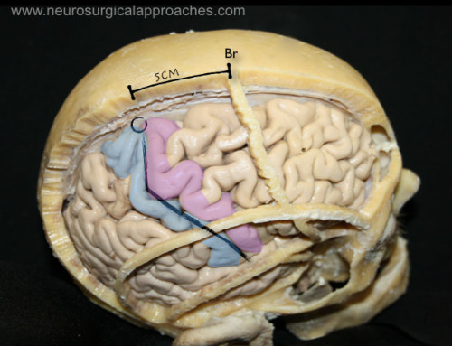 Craniometric points of the skull and the cerebral cortical surface